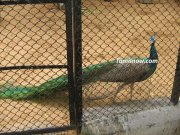 Peacock at guindy park