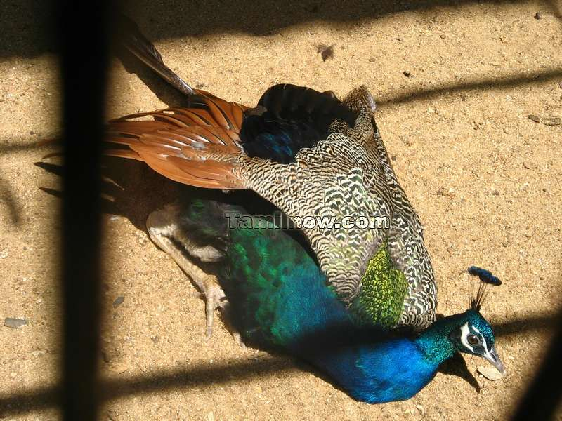 Peacock photo 5