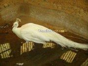 White pea cock