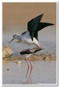 Black winged stilt 3
