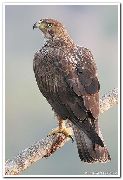 Bonellis eagle