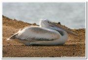 Dalmatian pelican 1