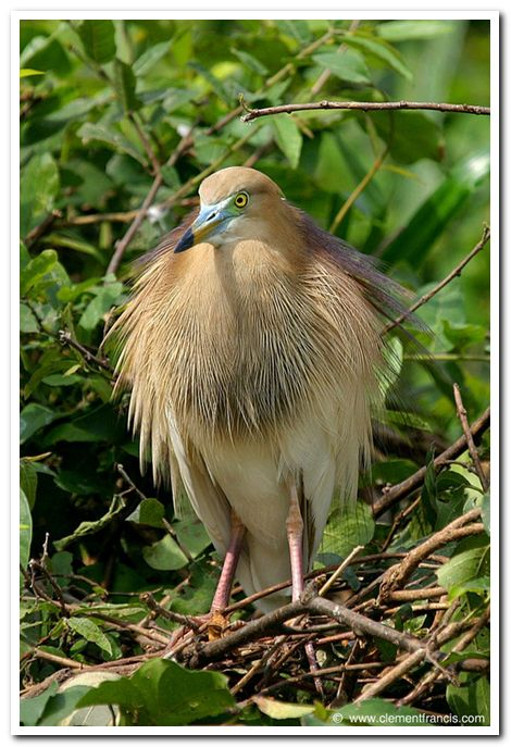 Pond heron 1