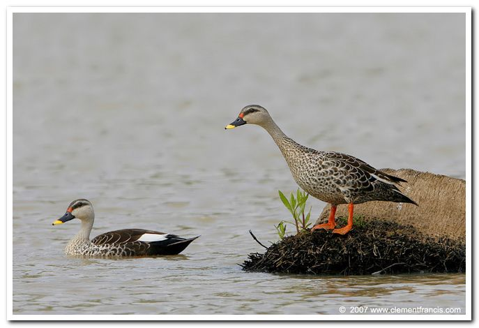 Spot billed duck