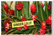 Ginger lilly red photos 2
