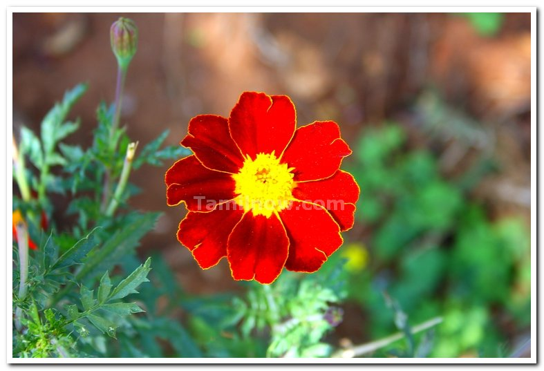 Flowers at yercaud 4