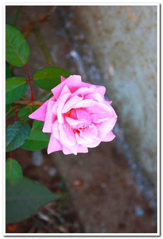 Rose flowers 1
