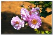 Rose flowers 2