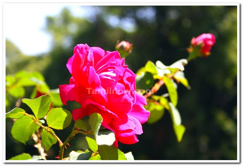 Rose flowers 4