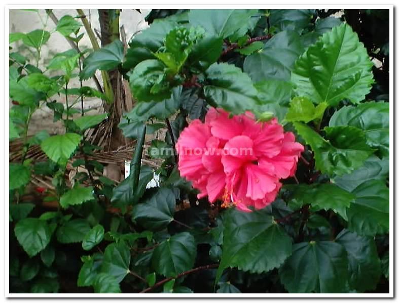 Tamil Nadu Photos : General : Flowers plants : Shoe Flower