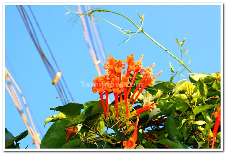 Yercaud flowers 3