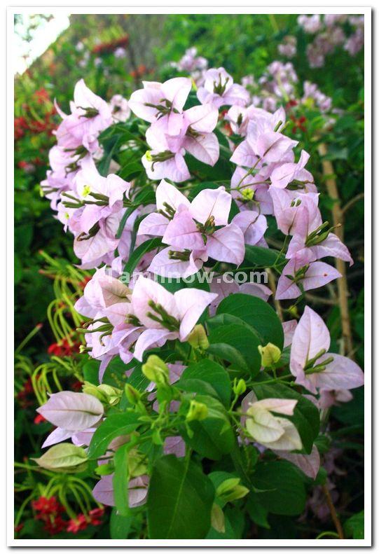 Mysore brindavan gardens flowers 1
