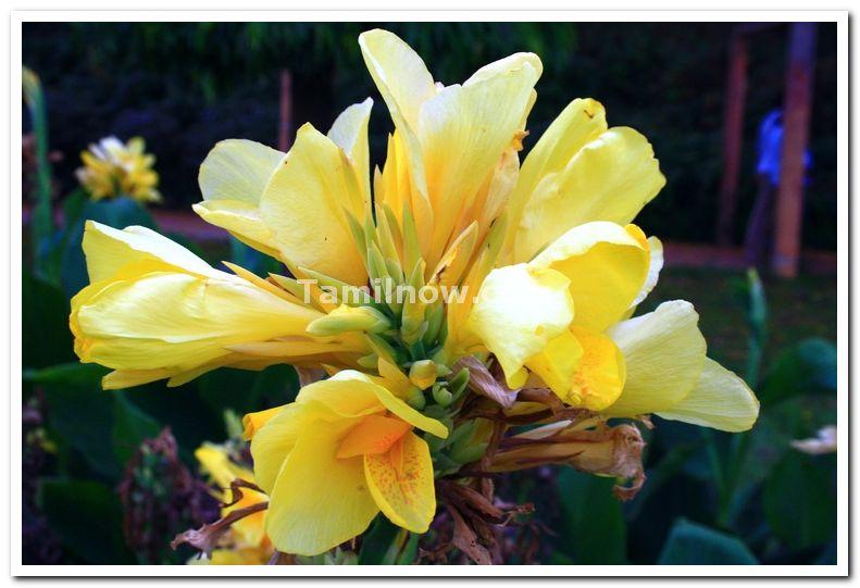 Mysore brindavan gardens flowers 3