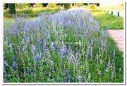 Mysore brindavan gardens flowers 4