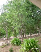 Sandalwood tree