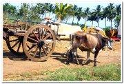 Bullock cart in akiwad maharashtra