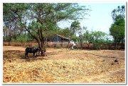 Maharashtra village scene