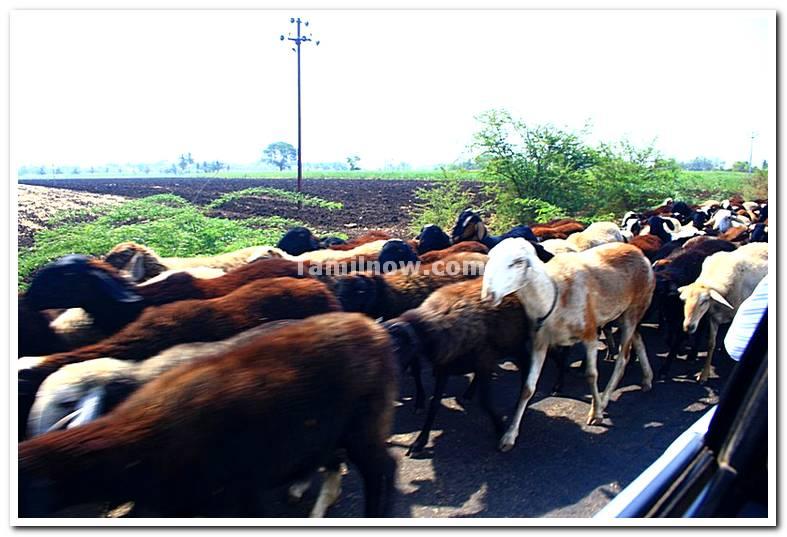 Sheep herd