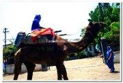Camel ride in miraj