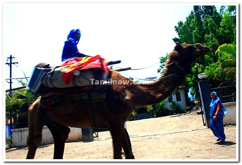 Camel ride in miraj