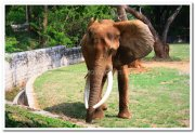 African elephants at mysore zoo 1