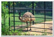 Emu at mysore zoo