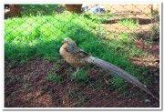 Fowls at mysore zoo 1