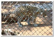 Panthers at mysore zoo 2