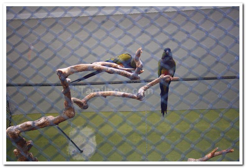 Parakeet at mysore zoo