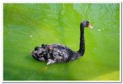 Swans at mysore zoo 3
