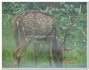 Deer in nagarhole national park