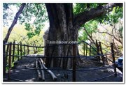 Tree near ramlinga temple entrance
