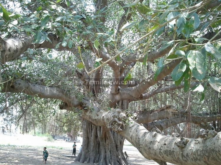 Big trees inside Rajagiri Fort Gingee