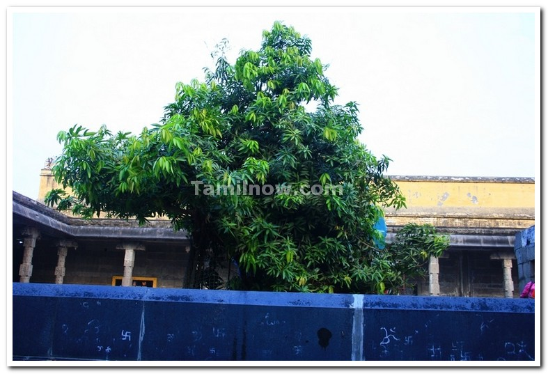 Kanchipuram Photo Gallery : Ekambaranatha temple sthala virutcham