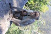 Monkey with baby at kodaikanal 880