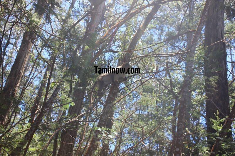Monkeys in kodai forest area 386