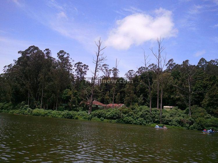 Ooty lake Eucalyptus Trees