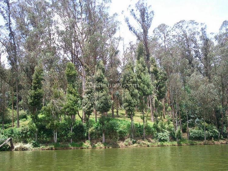 Eucalyptus Trees at Ooty