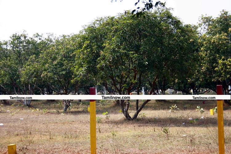 Mango garden 1