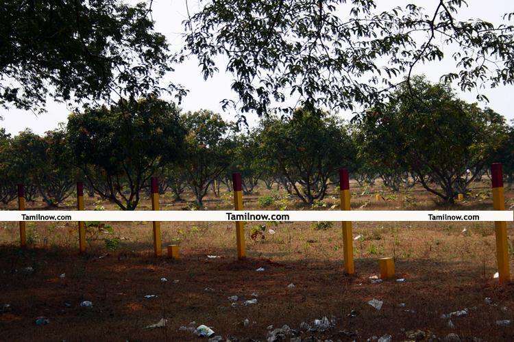 Mango garden 2