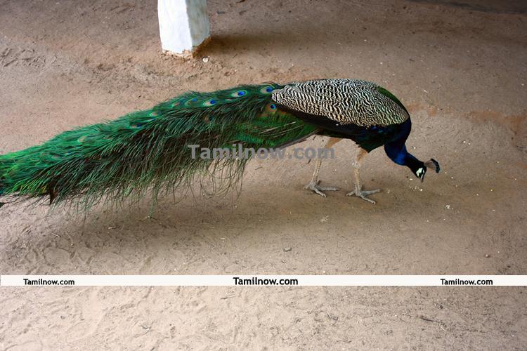 Ramana Maharshi ashram peacock